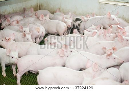 Pig farm. Little pink piglets. growing pigs