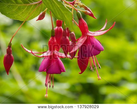 A bunch of Fuchsia flowers with green blurry background