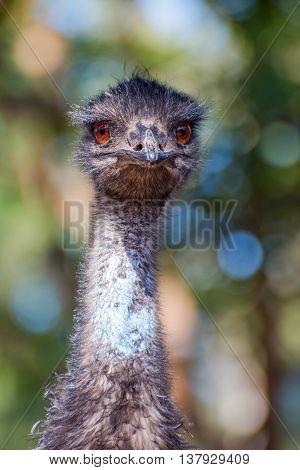 Emu bird staring straight ahead close up