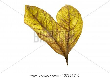 Two Conjoined  Autumn Colored Ieaves Isolated On White 5
