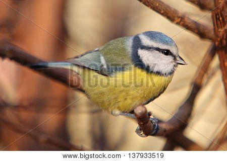 Bird - Blue Tit on tree wildlife at day