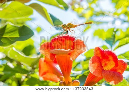 Dragonfly with transparent wings on the orange flower trumpet creeper (Campsis) in the sunny summer garden on blurry background of green foliage and blue sky backlit macro. Selective focus