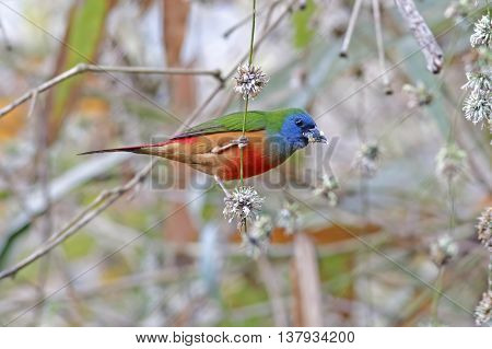 Pin-tailed Parrotfinch Erythrura prasina Male Birds of Thailand