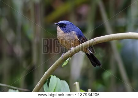 Slaty-blue Flycatcher Ficedula tricolor Male Birds of Thailand