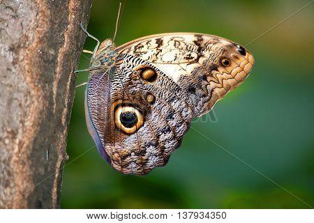 Caligo memnon butterfly from sideways on a tree