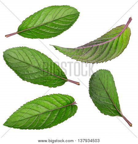 Set of fresh mint isolated on the white background. Mint leaves. Mint on white background