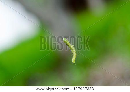 Little Green Caterpillar