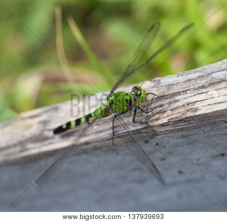 Green dragonfly on a weathered board watching for bugs