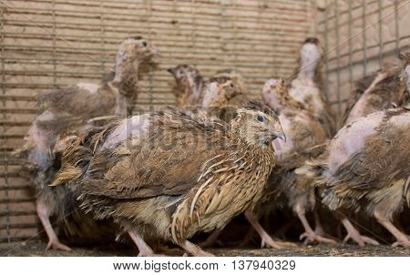 A few quails in a cage on a chicken farm