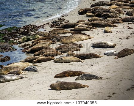 Many seals lying on a beach sleeping by the ocean