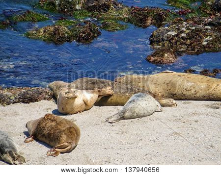 Seals sleeping and relaxing on a beach