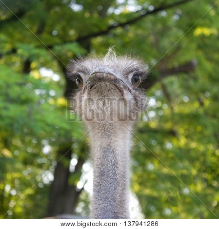 Portrait of an African ostrich on a background of green trees
