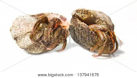 Hermit crab from the Black sea isolated on white