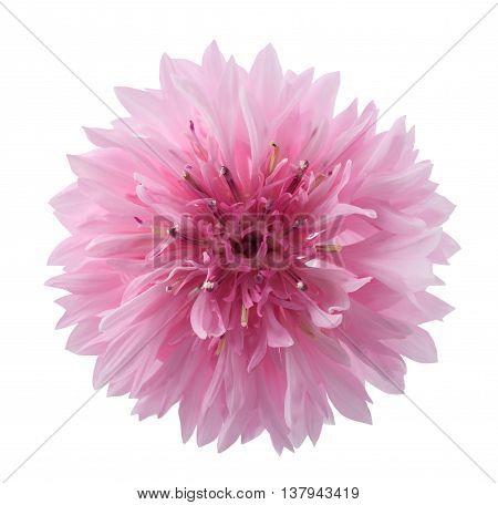Pink Cornflower Head