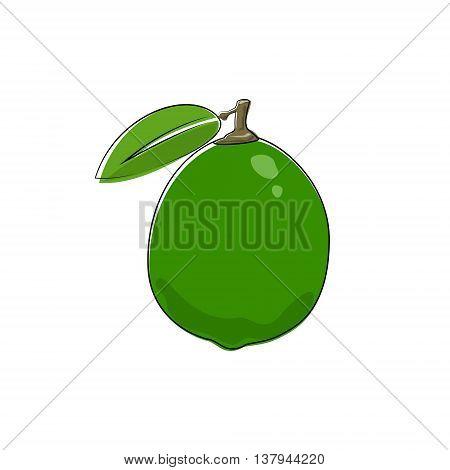 Citrus Lime Isolated on White, Tropical Fruit lemon, Vector Illustration