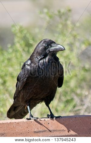 Common Raven in Canyonlands National Park in Utah