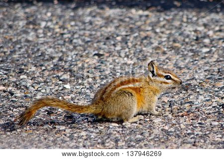 Chipmunk in Canyonlands National Park in Utah