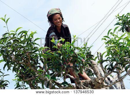 YEN BAI, VIETNAM, June 14, 2016 Hmong women, highland Yen Bai ancient tea pickers Suoi Giang