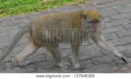 wild adult female Long-tailed Macaque walking on sidewalk near Tang Kuan Hill lift station