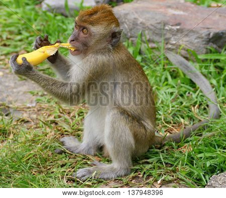 wild juvenile Long-tailed Macaque sitting up on grass, peeling a banana gift from a tourist, near Tang Kuan Hill, Songkhla, Thailand