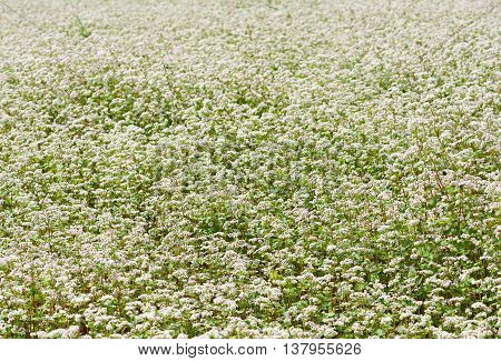Field of buckwheat. buckwheat background. Blossom field of buckwheat. Lithuanian flora. Lithuania landscape