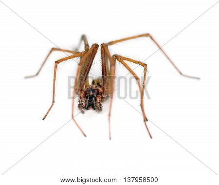 Common house spider with hairy legs on white
