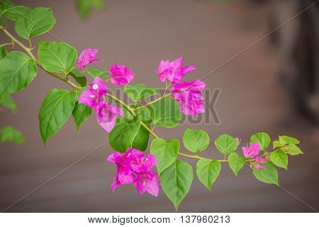 Foliage of bougainvillea pink flower with green leaf hanging in the air on dark background