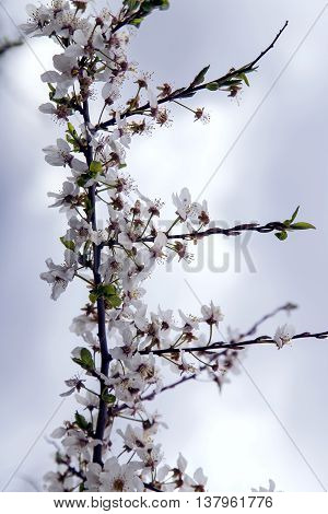 White flowers adorn the branches of apple tree on a background sky