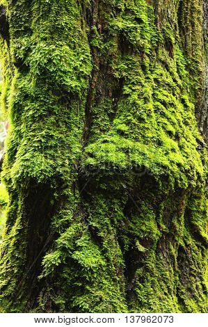a picture of an exterior Pacific Northwest forest maple tree  with moss