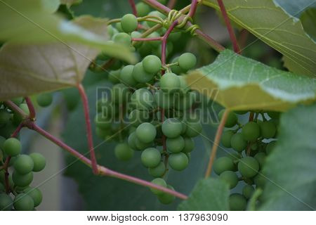 grapes that are ripening on the vine