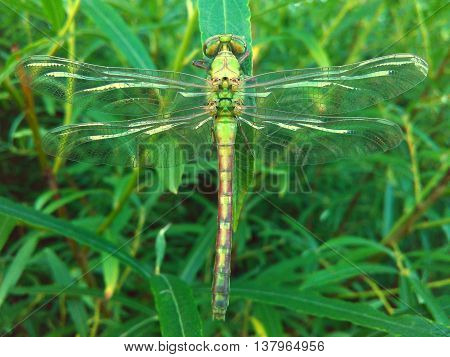 Beautiful green Dragonfly sat on a Salix leaf.