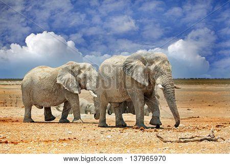 2 large elephants on the Etosha Plains with a natural blue cloudy sky background
