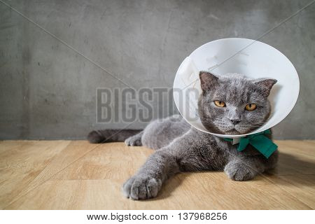 Sick Cat With Funnel Cone Collar Prevent Him Scratch His Ear,british Short Hair Cat