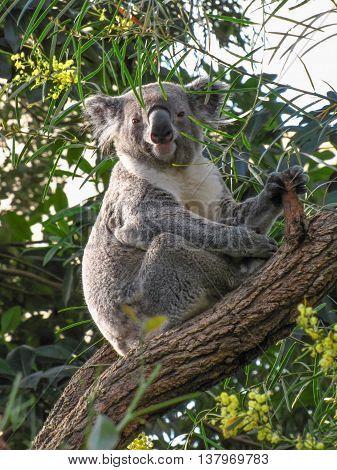 Cute Australian Koala sitting on a tree branch looking at the camera