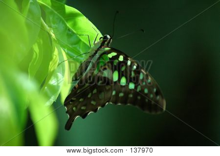 Black With Green Dot Butterfly