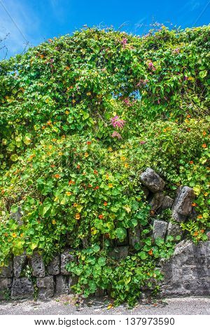 Morning glories growing wild along this old stone wall in Bermuda.