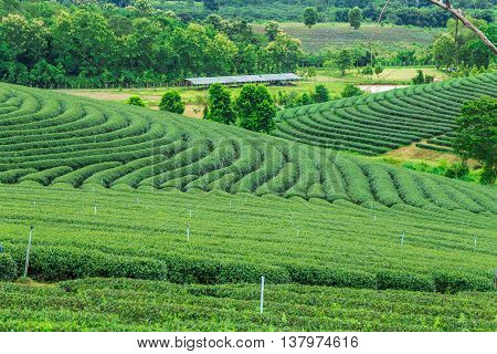 Green Tea Plantations On Mountain