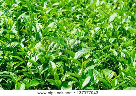 Tea Leaves At Plantation Agricultural Field