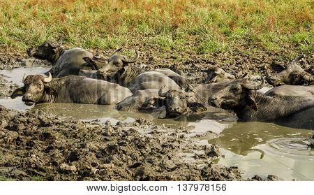 Water buffalos in the Wetlands of the Kizilirmak delta, Black Sea Province of Turkey
