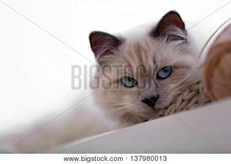 Color-point cat with skein lying on a window in living room