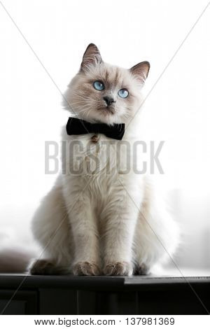 Color-point cat with bow tie sitting on black table in living room, close up