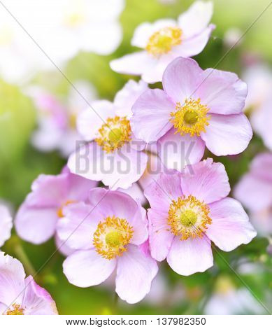 Wild anemone hupehensis or thimble weed with copy space