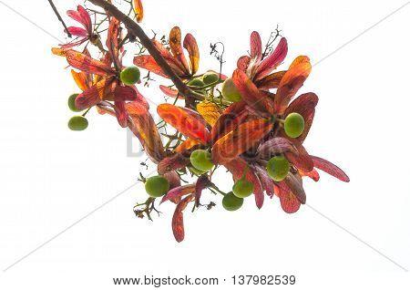 Dipterocarpus or Yang Naa Seed in Thai