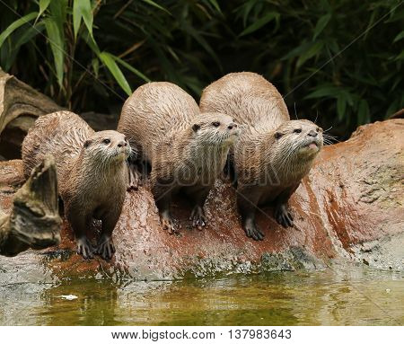 A family of Oriental Short Clawed Otters cuddling