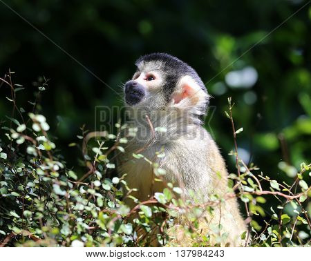 Portrait of a young inquisitive Squirrel Monkey