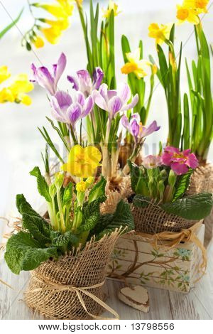 Colorful spring flowers in pots.Narcissus,primula,crocus,freesia, violet