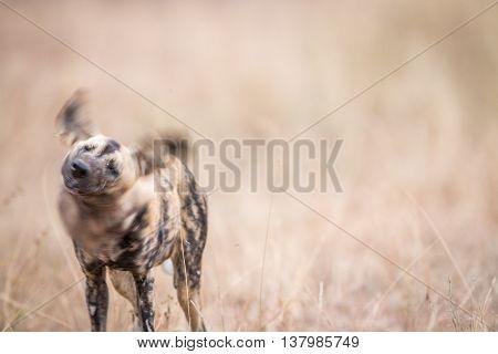 African Wild Dog Shaking Himself In The Kruger National Park.