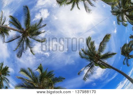 Palm tree tops against blue sky and white clouds on a sunny day