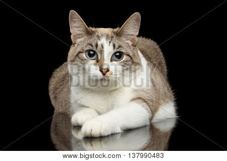 Cute White Cat with Huge Blue eyes, paws in front of him, Lying and Looks Guilty, on Isolated Black Background