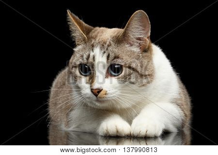 Cute White Cat with Huge Blue eyes, Funny paws, Lying and Looks Guilty, on Isolated Black Background, Front view